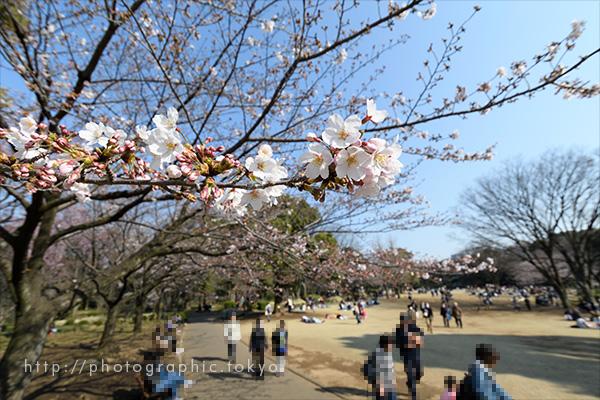撮影例・咲き始めの桜