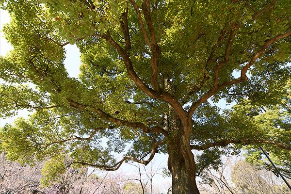 撮影例・公園の大木